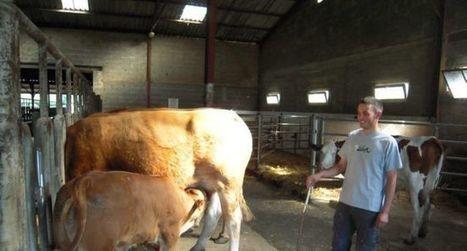 Veau sous la mère cherche éleveurs | Agriculture en Dordogne | Scoop.it