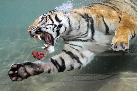 Tiger swims after meat - Excellent pic!   A Sense of the Ridiculous   Scoop.it