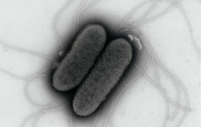 How Salmonella synchronises its invasion plan   Food Science and Technology   Institute of Food Research News   Scoop.it