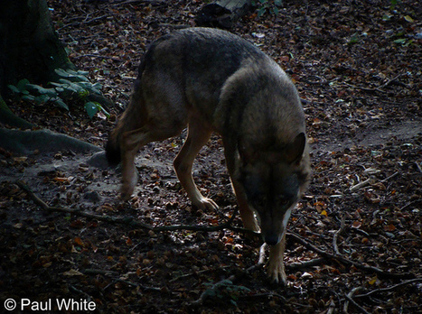 Wild Transylvania: Transylvania, the last great stronghold for wolves in Europe | Environmental issues | Scoop.it
