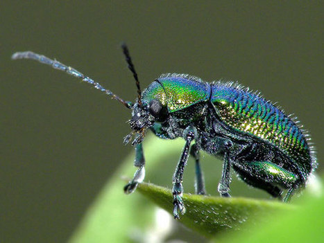 Beetle walks and sticks underwater by creating dryness with every footstep   Social Foraging   Scoop.it