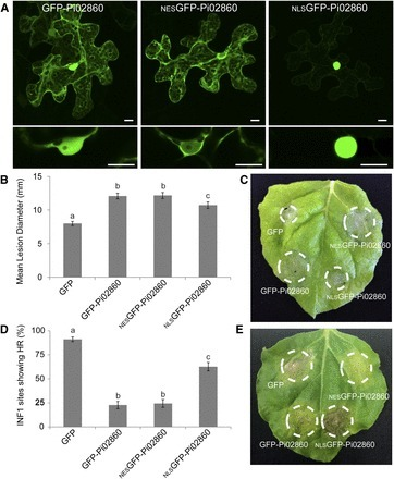 Potato NPH3/RPT2-Like Protein StNRL1, Targeted by a Phytophthora infestans RXLR Effector, Is a Susceptibility Factor | Plant-Microbe Interaction | Scoop.it