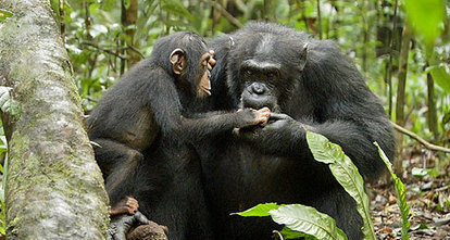 Save the Chimps!   TIME For Kids   Shared Readings   Scoop.it