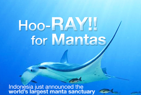 A ray of hope for mantas | All about water, the oceans, environmental issues | Scoop.it