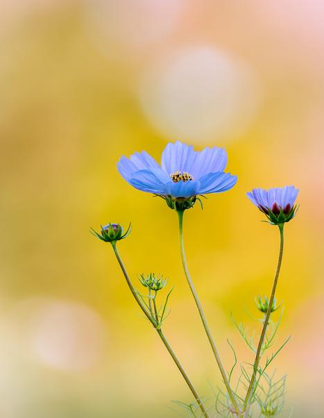 Cosmos flowers by Dave B | Encontro com a Arte | Scoop.it