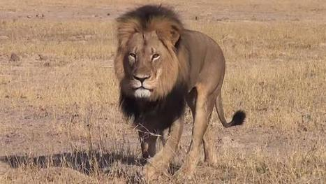 Hunting 'elitism' in Scotland challenged after Cecil killing - Herald Scotland | conservation | Scoop.it