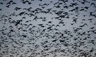 A blizzard of birds flock in a tightly packed pyramid | Agua | Scoop.it