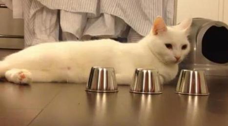 Ce chat est imbattable... au jeu du bonneteau | Histoire de chats | Scoop.it