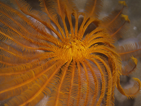 The Beautiful Feather Star: Lily of the Sea | Indigo Scuba | Scoop.it