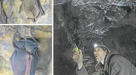 Cache-cache partie avec les chauves-souris | Revue de presse du Groupe Mammalogique Breton | Scoop.it