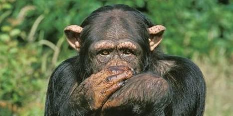 """Les singes, """"nos frères d'évolution"""" - lalibre.be   Evolution de l'Homme   Scoop.it"""