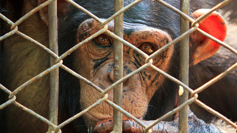 Suit seeks legal personhood for chimp who animal rights activists claim is a 'slave' | The Raw Story | political sceptic | Scoop.it