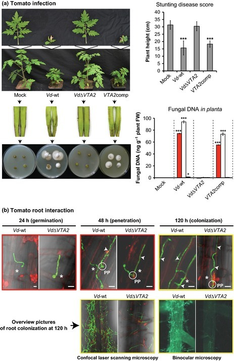 Verticillium transcription activator of adhesion Vta2 suppresses microsclerotia formation and is required for systemic infection of plant roots - Tran - 2014 - New Phytologist - Wiley Online Library | cotton disease | Scoop.it