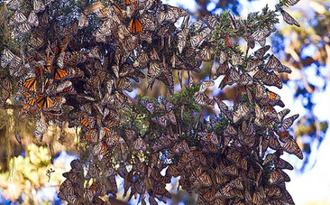Monarch Butterflies Are Streaming Into California And Mexico | Advocating for Wildlife | Scoop.it