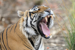 How to Tame a Bengal Tiger (and When to Sharpen Your Blade) | Le coaching professionnel par Soizic Merdrignac | Scoop.it