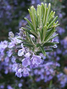 Antioxidant activity of rosemary (Rosmarinus officinalis L.) essential oil and its hepatoprotective potential - PubMed - NCBI | Vitae Herbae | Scoop.it