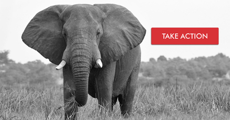 Protect elephants: Support the U.S. ivory ban | EcoAction | Scoop.it