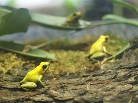 Photo de Dendrobatidae : Kokoï de Colombie - Phyllobate terrible - Phyllobates terribilis - Golden poison frog - Golden poison arrow frog - Golden dart frog | Fauna Free Pics - Public Domain - Photos gratuites d'animaux | Scoop.it