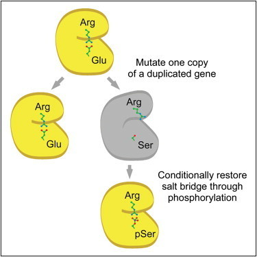 Cell - A Mechanism for the Evolution of Phosphorylation Sites   Plant Proteomics   Scoop.it
