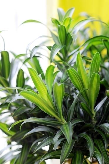 Pianta del mese di Febbraio: Dracena | fiori e piante, curiosità e notizie | Scoop.it