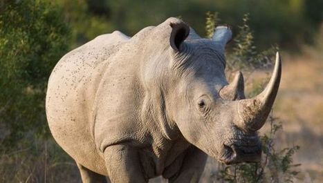 Can 3D Printing Save The Rhino? | 3D Printing and Fabbing | Scoop.it