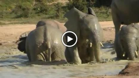 Researchers Develop Elephant Warning System For Humans In Harm's Way | practice | Scoop.it