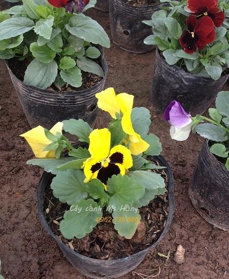 Hoa bướm Pansy | Tong Hop | Scoop.it