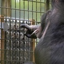 Chimpanzees Enjoy Solving Puzzles Just as Much as Humans - Motherboard (blog) | real utopias | Scoop.it