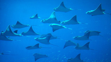 Ancient And Vulnerable: 25 Percent Of Sharks And Rays Risk Extinction | Scuba & Underwater News | Scoop.it