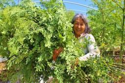 Moringa- The Wonder Tree | Sustainable World Radio | Perma-Tech Inspirations | Scoop.it