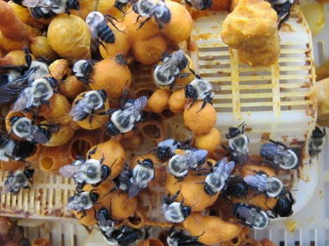 Flower Pharmacies Help Bees Fight Parasites | Beekeeping | Scoop.it