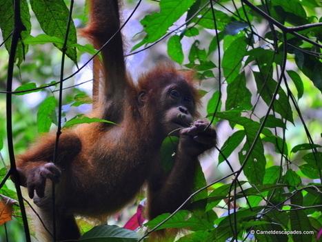 A la découverte des orangs-outans à Sumatra | Carnet d'escapades | Scoop.it