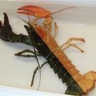 Halloween-colored lobster caught off Mass. coast | Odd Headlines | Comcast | Gray Matters | Scoop.it