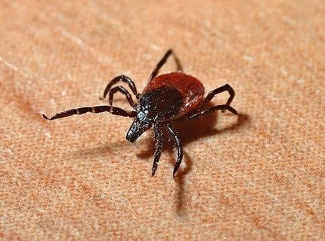 Lyme Disease - Just A Minor Bite Or A Major Epidemic? | Lyme Disease & Other Vector Borne Diseases | Scoop.it