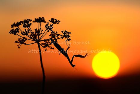 Mante religieuse au coucher du soleil   Cathy Bernot photo nature   Liens photo pour les yeux   Scoop.it