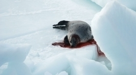 Stop the Canadian Seal Slaughter | Nature Animals humankind | Scoop.it