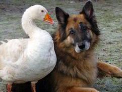Puppy love: Dangerous dog is tamed after falling in love - with a goose | This Gives Me Hope | Scoop.it