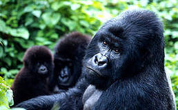 La conservation s'avère efficace en Ouganda | Virunga - WWF | Scoop.it