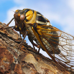 The Cicada's Love Affair With Prime Numbers | Wonders of math | Scoop.it