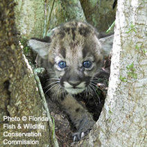 Ask USFWS and the Department of Interior To Give Panthers Room To Roam! | GarryRogers Biosphere News | Scoop.it