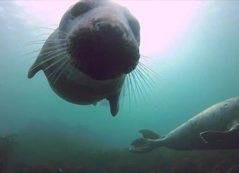 Seals approach diver for chin tickles and belly rubs | DiverSync | Scoop.it