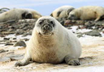 Anti-seal hunt activists find a strange ally in climate change | Climate change challenges | Scoop.it