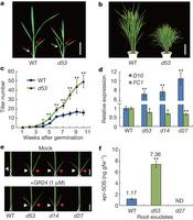 D14-SCFD3-dependent degradation of D53 regulates strigolactone signalling : Nature | Plant hormones | Scoop.it