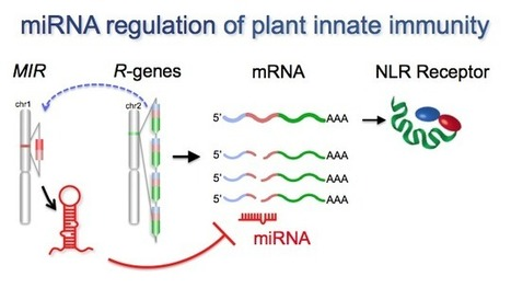 Baker Lab: MicroRNA regulation of plant innate immune receptors (2012) | CropScJV | Scoop.it
