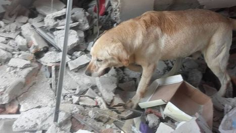 Hero dog dies of exhaustion after rescuing 7 from earthquake in Ecuador | Archaeology, Culture, Religion and Spirituality | Scoop.it