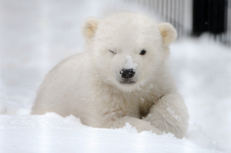 Surprise! A Happy Ending for Kali the Orphan Polar Bear Cub - TakePart | polar bears research | Scoop.it