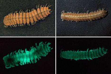 New Glowing Millipede Found; Shows How Bioluminescence Evolved | Biodiversity protection | Scoop.it