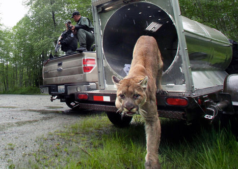 Cougars, Glamorous Killers, Expand Their Range | New York (NY) Times | CALS in the News | Scoop.it