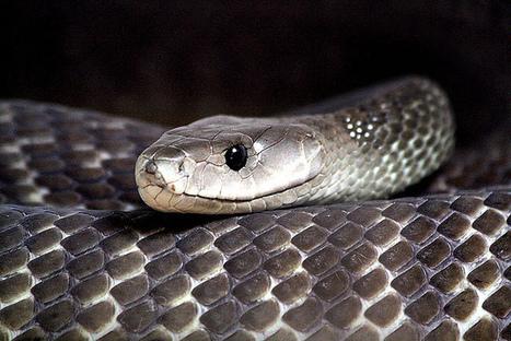 Noticias de ecologia y medio ambiente | El veneno de la serpiente mas venenosa del mundo tiene mas poder analgesico que la morfina | Agua | Scoop.it