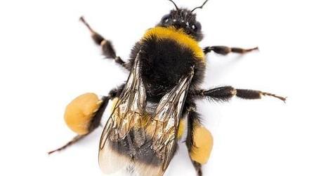Les preuves s'accumulent : Deux nouvelles études confirment l'impact des néonicotinoïdes sur les abeilles et les bourdons | EntomoNews | Scoop.it